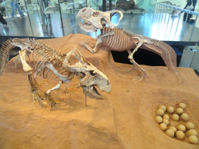 Protoceratops andrewsi Exhibit in the American Museum of Natural History